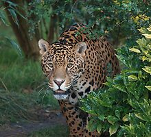 Male Leopard 2 by Franco De Luca Calce