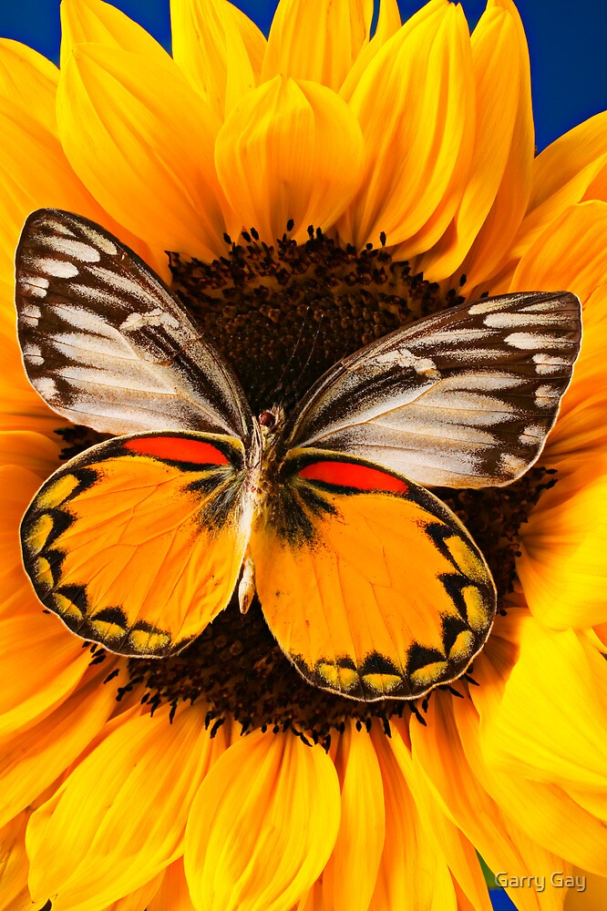 Butterfly On Sunflower by Garry Gay