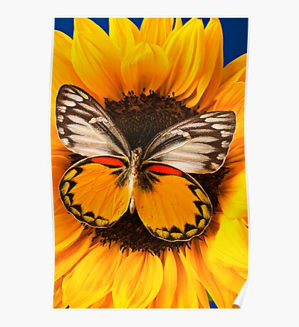 Butterfly On Sunflower Poster
