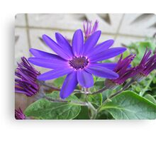 Purple Cineraria Canvas Print