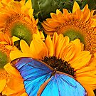 Blue Butterfly On Sunflower by Garry Gay