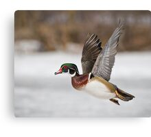 Flight of the Male Wood Duck Canvas Print