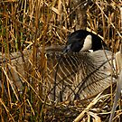 Early Nesting Canadian Geese by Robert Miesner