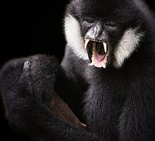 Black Crested Gibbon by Scott Carr