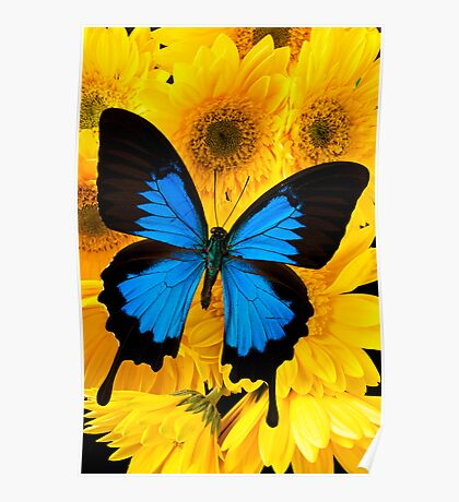 Blue Butterfly On Yellow Mums Poster