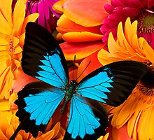 Blue Butterfly On Colorful Daisy's by Garry Gay