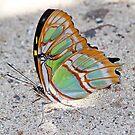 Malachite butterfly by jozi1