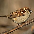 House Sparrow by Jeff Weymier