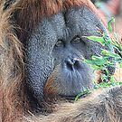  Orang-utan by Cindy McDonald