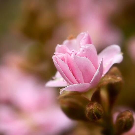 Pink hawthorn bud by Celeste Mookherjee