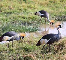 Grey Crowned Crane, Kenya by Carole-Anne