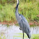 Blue or Black-headed Heron, Kenya  by Carole-Anne