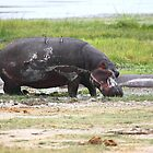 Hippopotamus, Kenya by Carole-Anne