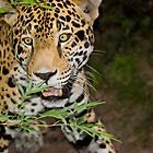 Jaguar on the Hunt by Timothy Meissen
