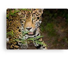 Jaguar on the Hunt Canvas Print
