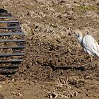 Cattle Egret, Parc Natural de l'Albufera, Valencia, Spain by Andrew Jones