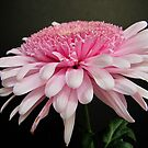 Pink is Beautiful ~ Gerbera by Gloria Abbey