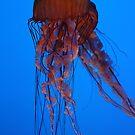 Jellyfish, Atlanta Aquarium by Jane McDougall