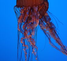 Jellyfish, Atlanta Aquarium by Jane McDougall