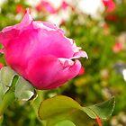 Morning rose embracing the sunlight by Matt Stojko