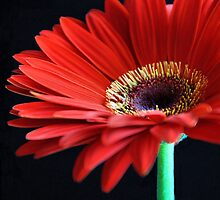 gerbera droplet.. by Michelle McMahon