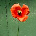 Poppy Days 1 by kibishipaul