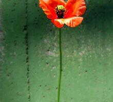 Poppy Days 2 by kibishipaul