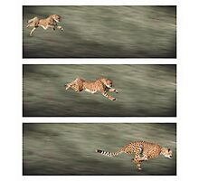 Cheetah frames Photographic Print