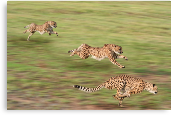 Cheetah shot on a timed run in South Africa by markbeckwith