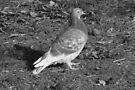 Pigeon at Roath Park Lake Cardiff (BW) by Artberry