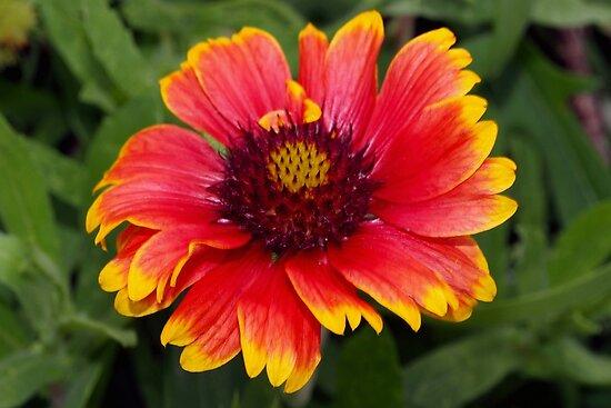 Gloriosa daisy-blanket flower by ♥⊱ B. Randi Bailey