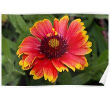 Gloriosa daisy-blanket flower Poster