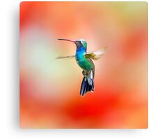 Broad Billed Humming, Part Of My Hummingbird Art Collection. Canvas Print