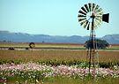Ventersburg se kosmos/Cosmosflowers in Ventersburg by Elizabeth Kendall