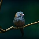 Blue Capped Cordon Bleu Canary by swaby