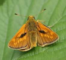 Large Skipper Butterfly (male) Ochlodes sylvanus by Roger Hall