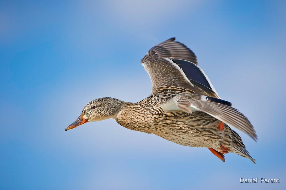 Flight of the Female Mallard by Daniel  Parent