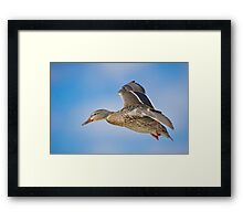 Flight of the Female Mallard Framed Print