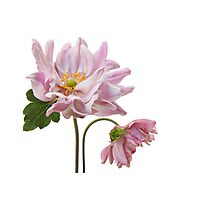 Lady Gilmour Double Japanese Anemones Photographic Print