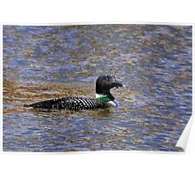 A Bit Looney - Common Loon Poster