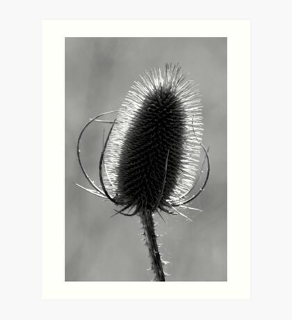 Teasel in Black and White Art Print