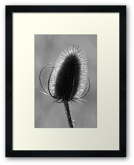 Teasel in Black and White by Samantha Higgs