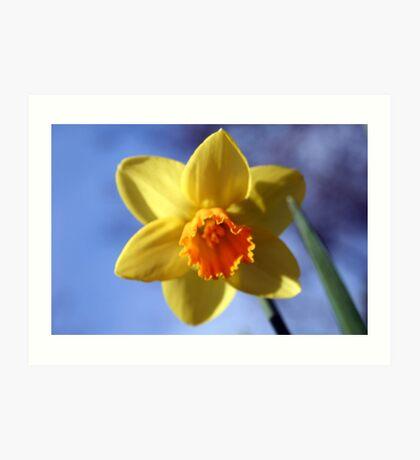 Daffodil Art Print