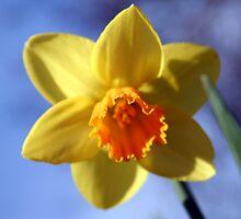 Daffodil by TallulahMoody