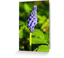 Grape-Hyacinths Greeting Card