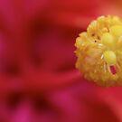 Hibiscus by Paul Revans