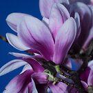 Magnolia II by Dania Reichmuth