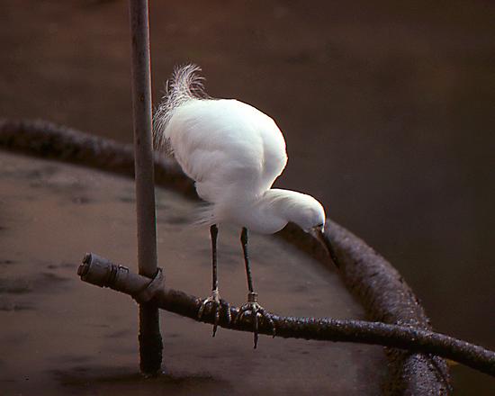 Egret by Phil Campus