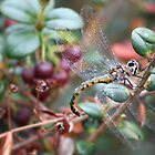 Dragonfly  by Jo Williams