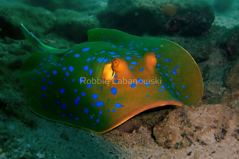 Blue-spotted Ribbontail Ray by Robbie Labanowski